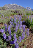 Purple Lupine bloom in the foreground of snow capped mountains. Royalty Free Stock Images