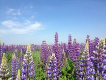 Purple lupine. Blossomed on the field Royalty Free Stock Image