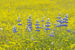 Purple lupine and desert gold yellow flowers in brightly colored spring field off Highway 58 East of Santa Margarita, CA Royalty Free Stock Images