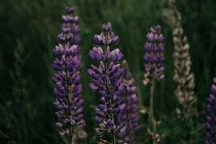 Purple Lupine Flower in Closeup Photography Royalty Free Stock Photography