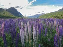 Purple lupine flower filed with mountain Royalty Free Stock Photo