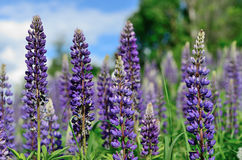 Purple lupine flowers close-up Royalty Free Stock Photos