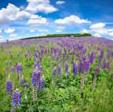 Purple lupine flowers Royalty Free Stock Image