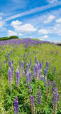 Purple lupine flowers Stock Images
