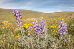 Purple Lupine Flowers in Field Stock Photo