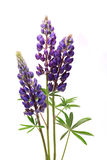 Purple Lupine Flowers On White Stock Images