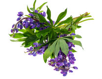 Purple lupine with green leaves, isolated on white background. Studio Photo Royalty Free Stock Photo