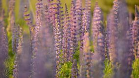 Purple lupine meadow stock video footage
