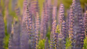 Purple lupine meadow stock video