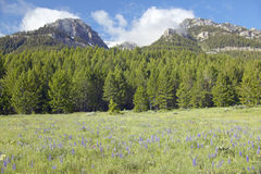 Purple lupine and mountains in Centennial Valley near Lakeview, MT Royalty Free Stock Images