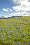 Purple lupine and mountains in Centennial Valley near Lakeview, MT Stock Images
