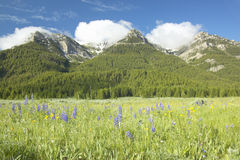 Purple lupine and mountains in Centennial Valley near Lakeview, MT Stock Photography