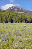 Purple lupine and mountains in Centennial Valley near Lakeview, MT