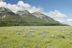 Purple lupine and mountains in Centennial Valley near Lakeview, MT Royalty Free Stock Photo