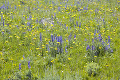 Purple lupine and spring flowers in southwestern MT Stock Photo