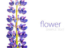 Purple lupine on white background, empty place for your text Stock Photos
