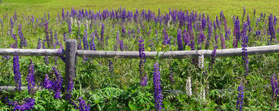 Purple lupines Royalty Free Stock Photos