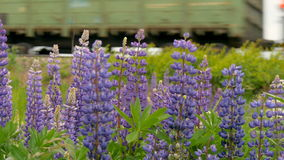 Purple lupines blooms in the fields. In the background a train is traveling stock video footage