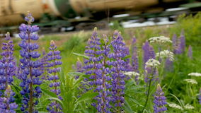 Purple lupines blooms in the fields. In the background a train is traveling stock video