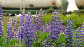 Purple lupines blooms in the fields. In the background a train is traveling slow motion stock video
