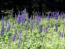 Purple lupines in a field Royalty Free Stock Images