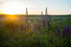 Purple lupines among green grass at the sunset. Image of purple lupines among green grass at the sunset Stock Image