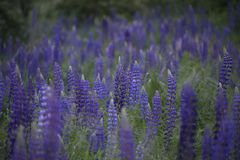 Purple lupines in a greens in a field stock photos