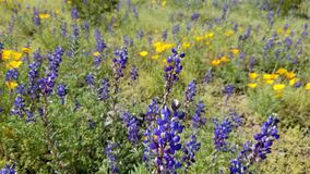 Purple lupines and Mexican Goldpoppies near Picacho Peak stock image