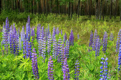 Purple Lupins by Green Forest Stock Images