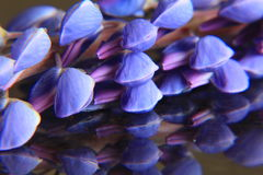 Purple lupins Stock Image