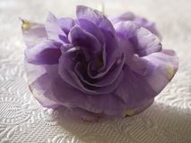 Purple lysantus Stock Image