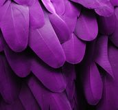 Purple Macaw Feathers Stock Image