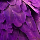 Purple Macaw Feathers Royalty Free Stock Photography