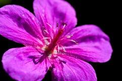 Purple macro flower. Macro shot of a purple flower in a garden Royalty Free Stock Image