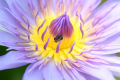 Purple macro Petals of lotus. Stock Photos