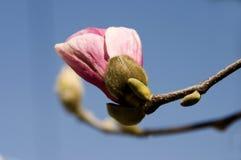Purple Magnolia. Single Purple Magnolia isolated on blue sky royalty free stock images