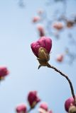 Purple Magnolia against blue sky. Purple Magnolia pre bloom against blue sky in Spring Royalty Free Stock Photos