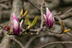 Purple magnolia buds and leaves. Close up of purple magnolia buds and leaves Royalty Free Stock Photos