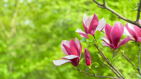 Purple magnolia flower on a branch background Stock Photos