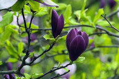 Purple magnolia flower among foliage and branches Stock Photos