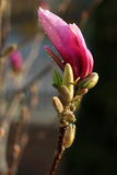 Purple magnolia Stock Photography