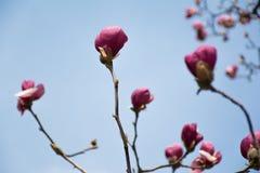 Purple Magnolia flowers against blue sky. Purple Magnolia flowers blooming against blue sky Royalty Free Stock Image