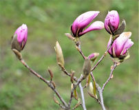 Purple magnolia flowers and buds close-up. Purple magnolia flowers and buds. Branch with three blossoming flowers of pink magnolia on the blurred dark background Royalty Free Stock Image