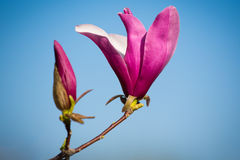 Purple magnolia Stock Photo
