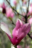Purple magnolia Royalty Free Stock Images