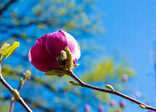 Purple magnolia in spring Royalty Free Stock Photo