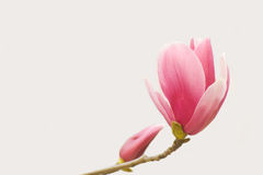Purple magnolia Stock Images