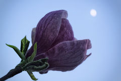Purple magnolia under the moon. Purple magnolia flower with a green leaf under the moon, shallow depth of focus Stock Photography