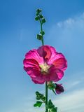 Purple mallow Royalty Free Stock Photo