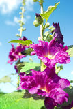 Purple mallows. Beautiful mallows against blue sky Stock Photography